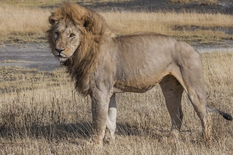 MUFASA, THE ESCAPE ARTIST LION, HAS BEEN NABBED